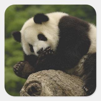 Giant panda baby Ailuropoda melanoleuca) 12 Square Sticker
