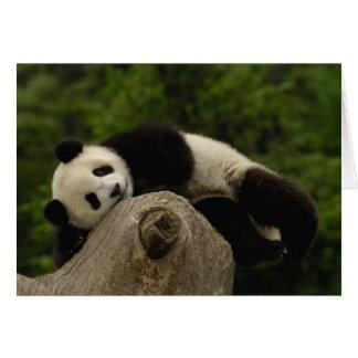 Giant panda baby Ailuropoda melanoleuca) 13 Card