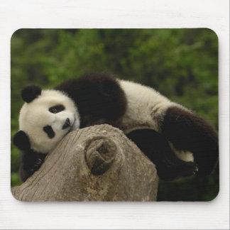 Giant panda baby Ailuropoda melanoleuca) 13 Mousepad