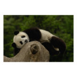Giant panda baby Ailuropoda melanoleuca) 13 Posters