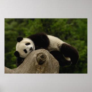Giant panda baby Ailuropoda melanoleuca) 13 Poster