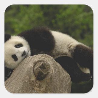 Giant panda baby Ailuropoda melanoleuca) 13 Square Stickers