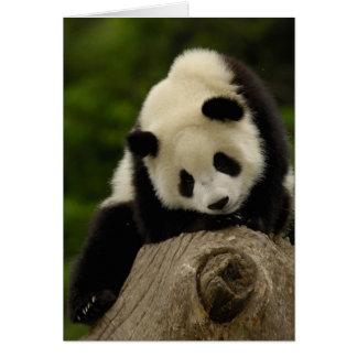 Giant panda baby (Ailuropoda melanoleuca) 2 Card