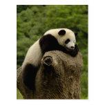 Giant panda baby Ailuropoda melanoleuca) 2 Postcards