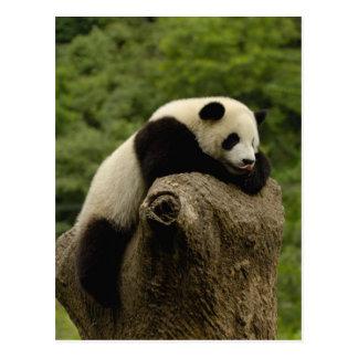 Giant panda baby Ailuropoda melanoleuca) 2 Postcard