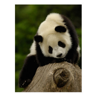 Giant panda baby (Ailuropoda melanoleuca) 2 Postcard