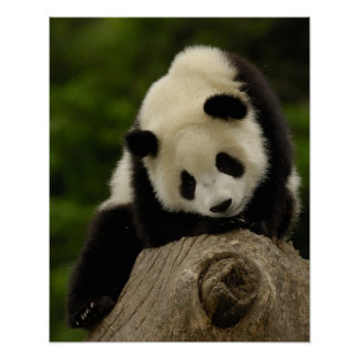 Giant panda baby (Ailuropoda melanoleuca) 2 Poster