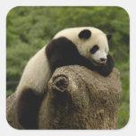 Giant panda baby Ailuropoda melanoleuca) 2 Square Stickers
