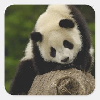 Giant panda baby (Ailuropoda melanoleuca) 2 Square Sticker
