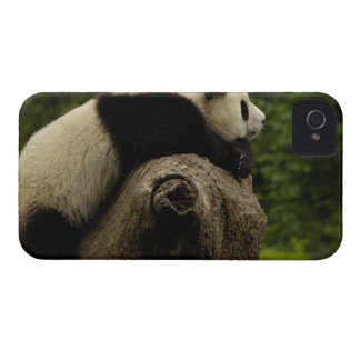 Giant panda baby (Ailuropoda melanoleuca) 3 iPhone 4 Case