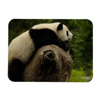 Giant panda baby (Ailuropoda melanoleuca) 3 Magnet