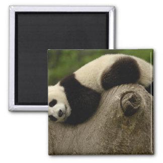 Giant panda baby Ailuropoda melanoleuca) 3 Magnet