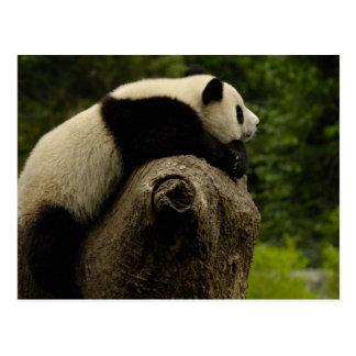 Giant panda baby (Ailuropoda melanoleuca) 3 Postcard