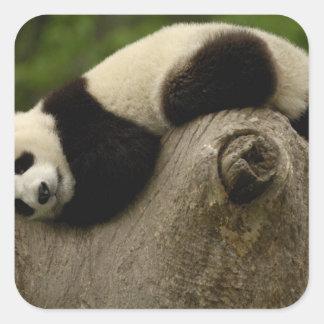 Giant panda baby Ailuropoda melanoleuca) 3 Square Stickers