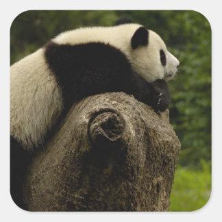 Giant panda baby (Ailuropoda melanoleuca) 3 Stickers