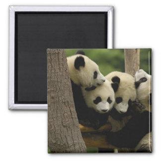 Giant panda baby Ailuropoda melanoleuca) 4 2 Inch Square Magnet