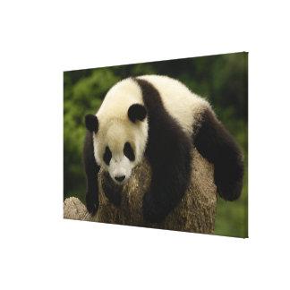 Giant panda baby (Ailuropoda melanoleuca) 4 Gallery Wrap Canvas