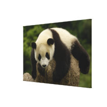 Giant panda baby (Ailuropoda melanoleuca) 4 Canvas Print