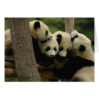 Giant panda baby Ailuropoda melanoleuca) 4 Card