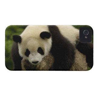 Giant panda baby (Ailuropoda melanoleuca) 4 iPhone 4 Covers