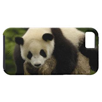 Giant panda baby (Ailuropoda melanoleuca) 4 iPhone SE/5/5s Case