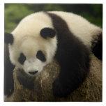 Giant panda baby (Ailuropoda melanoleuca) 4 Large Square Tile