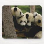 Giant panda baby Ailuropoda melanoleuca) 4 Mouse Pad