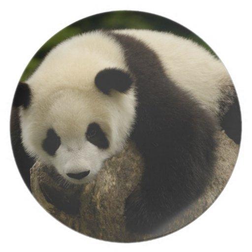 Giant panda baby (Ailuropoda melanoleuca) 4 Plates