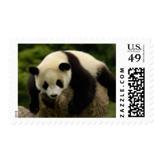 Giant panda baby (Ailuropoda melanoleuca) 4 Postage