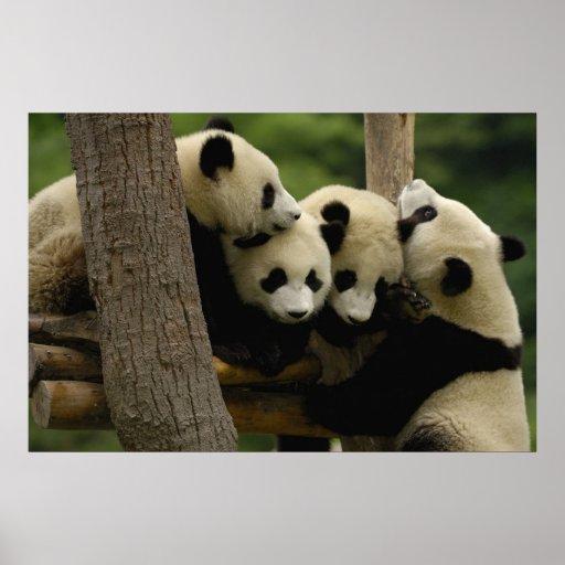 Giant Panda Baby Ailuropoda Melanoleuca 4 Poster Zazzle