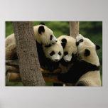 Giant panda baby Ailuropoda melanoleuca) 4 Print