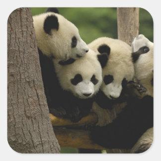 Giant panda baby Ailuropoda melanoleuca) 4 Square Sticker