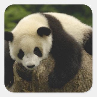 Giant panda baby (Ailuropoda melanoleuca) 4 Square Stickers