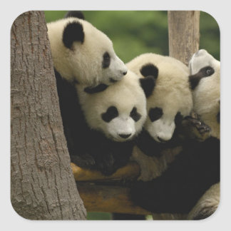 Giant panda baby Ailuropoda melanoleuca) 4 Stickers