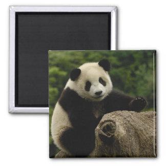 Giant panda baby Ailuropoda melanoleuca) 6 2 Inch Square Magnet