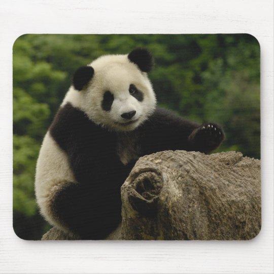 Giant panda baby Ailuropoda melanoleuca) 6 Mouse Pad