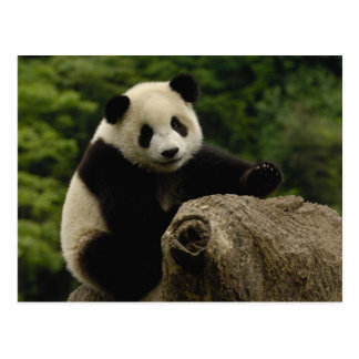 Giant panda baby Ailuropoda melanoleuca) 6 Postcard