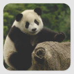 Giant panda baby Ailuropoda melanoleuca) 6 Sticker