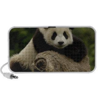 Giant panda baby Ailuropoda melanoleuca) 7 iPhone Speaker