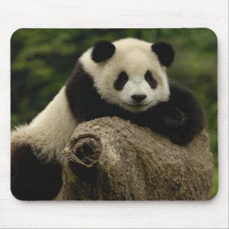 Giant panda baby Ailuropoda melanoleuca) 7 Mouse Pad