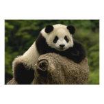 Giant panda baby Ailuropoda melanoleuca) 7 Photo Print