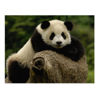 Giant panda baby Ailuropoda melanoleuca) 7 Post Card