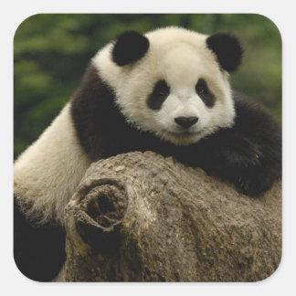 Giant panda baby Ailuropoda melanoleuca) 7 Square Stickers