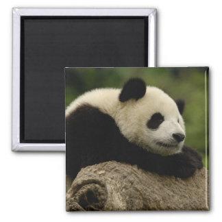 Giant panda baby Ailuropoda melanoleuca) 8 2 Inch Square Magnet