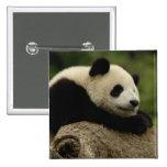 Giant panda baby Ailuropoda melanoleuca) 8 2 Inch Square Button