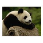Giant panda baby Ailuropoda melanoleuca) 8 Postcard
