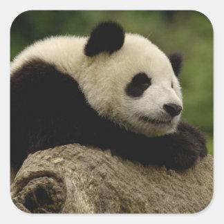 Giant panda baby Ailuropoda melanoleuca) 8 Square Stickers