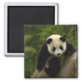 Giant panda baby Ailuropoda melanoleuca) 9 2 Inch Square Magnet