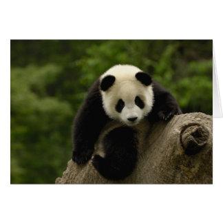 Giant panda baby Ailuropoda melanoleuca) 9 Card