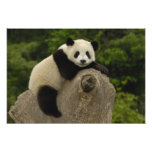 Giant panda baby Ailuropoda melanoleuca) 9 Photo Print